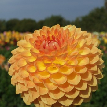 Ball and Pompon dahlia tubers - order Ball and Pompon dahlia tubers online