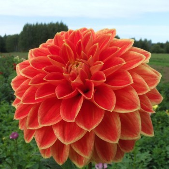 Decorative dahlia tubers - order decorative dahlia tubers online