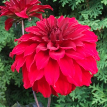 Low decorative dahlia tubers - order low decorative dahlia tubers online